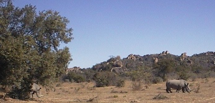 Witte neushoorns in Matobo