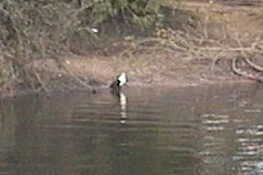 African Fish Eagle aan de Zambezi