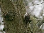 Boomkruiper - Noordlaarderbos