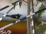 Nile Valley Sunbird