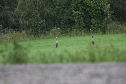 Twee Kraanvogels in de buurt van Nordseter.