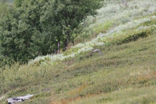 Een Koekoek liet zich ook mooi zien. Op de foto is hij iets minder duidelijk.