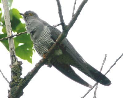 Koekoek Hoornseplas