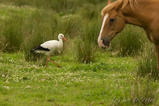 Ooievaar met Paard