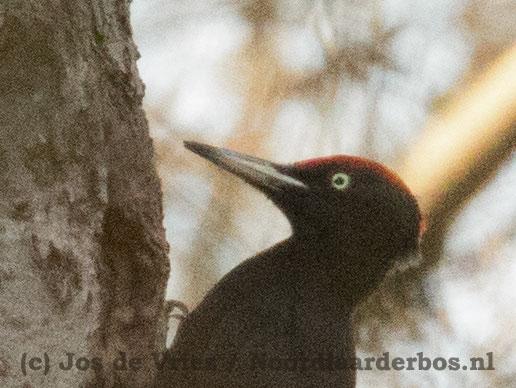 Zwarte-Specht_Kniphorsterbos_06-april-2015_002